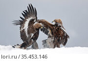 Golden eagle (Aquila chrysaetos), two juveniles fighting in snow. Norway. November. Стоковое фото, фотограф Markus Varesvuo / Nature Picture Library / Фотобанк Лори