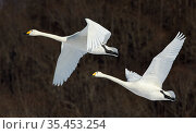 Whooper swan (Cygnus cygnus), two in flight. Hokkaido, Japan. February. Стоковое фото, фотограф Markus Varesvuo / Nature Picture Library / Фотобанк Лори