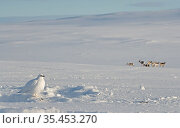 Ptarmigan (Lagopus mutus) male in snow covered landscape, Reindeer (Rangifer tarandus) herd in background. Utsjoki, Finland. February 2020. Стоковое фото, фотограф Markus Varesvuo / Nature Picture Library / Фотобанк Лори