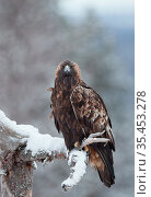 Golden eagle (Aquila chrysaetos) perched on snow covered branch. Kuusamo, Finland. December. Стоковое фото, фотограф Markus Varesvuo / Nature Picture Library / Фотобанк Лори