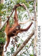 Bornean orangutan (Pongo pygmaeus) female brachiating with infant, Tanjung Puting National Park, Central Kalimantan, Borneo, Indonesia. Стоковое фото, фотограф Maxime Aliaga / Nature Picture Library / Фотобанк Лори