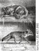 1 Lycalopex culpaeus magellanicus. Patagonian red fox or Patagonian... Стоковое фото, фотограф Jerónimo Alba / age Fotostock / Фотобанк Лори