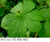 Herb Paris (Paris quadrifolia) with whorl of six leaves. Wiltshire, England, UK. May. Стоковое фото, фотограф Nick Upton / Nature Picture Library / Фотобанк Лори