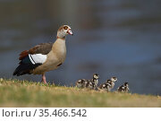 Egyptian goose (Alopochen aegyptiaca) with chicks at water's edge. Hill Country, Texas, USA. Стоковое фото, фотограф Rolf Nussbaumer / Nature Picture Library / Фотобанк Лори