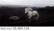 Weisses freilaufendes Islandpferd (Equus ferus caballus) in schwarzer... Стоковое фото, фотограф Zoonar.com/Stefan Ziese / age Fotostock / Фотобанк Лори