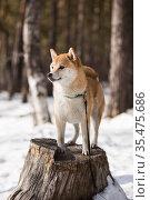 Сиба-ину в зимнем лесу стоит на пне. Стоковое фото, фотограф Михаил Панфилов / Фотобанк Лори