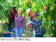 Positive woman engaged in gardening, picking fresh peaches in orchard. Стоковое фото, фотограф Яков Филимонов / Фотобанк Лори