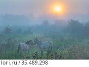 Konik horses (Equus ferus caballus) in mist at dawn, floodplain of the river Rijn, Meinerswijk near Arnhem, the Netherlands. May. Стоковое фото, фотограф Edwin Giesbers / Nature Picture Library / Фотобанк Лори