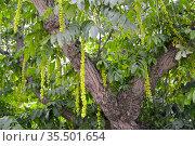 Фрагмент кроны лапины ясенелистной с зелеными соплодиями (Pterocarya fraxinifolia) Стоковое фото, фотограф Ирина Борсученко / Фотобанк Лори