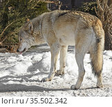 Eurasian wolf (Canis lupus lupus) eats snow in early spring. Стоковое фото, фотограф Валерия Попова / Фотобанк Лори