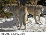 Couple of strong and beautiful Eurasian wolves (Canis lupus lupus) on sunny day in early spring. Стоковое фото, фотограф Валерия Попова / Фотобанк Лори