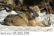 One-eared Eurasian wolf (Canis lupus lupus) lies in snow and licks. Стоковое фото, фотограф Валерия Попова / Фотобанк Лори
