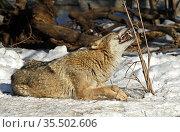 One-eared Eurasian wolf (Canis lupus lupus) lies in snow and gnaws twig. Demonstration of wolf teeth. Стоковое фото, фотограф Валерия Попова / Фотобанк Лори