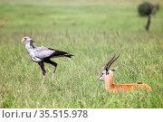 Secretarybird and Thomson's gazelle. Стоковое фото, фотограф Art Konovalov / Фотобанк Лори