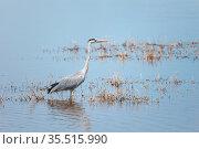 Great blue heron. Стоковое фото, фотограф Art Konovalov / Фотобанк Лори
