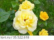 Цветы желтой розы (Rosa multiflora Thunb.). Крупный план. Стоковое фото, фотограф Ирина Борсученко / Фотобанк Лори