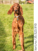 An Irish Setter puppy looks at the camera pausing from chewing a bone... Стоковое фото, фотограф Zoonar.com/Christopher Boswell / easy Fotostock / Фотобанк Лори