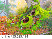 Buche mit alter Wurzel und moos - beech tree and old root in autumn... Стоковое фото, фотограф Zoonar.com/LIANEM / easy Fotostock / Фотобанк Лори