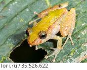 Los Cedros rain frog (Pristimantis cedros), described in 2015, recorded only within Los Cedros Biological Reserve, Imbabura Province, Ecuador. Стоковое фото, фотограф Morley Read / Nature Picture Library / Фотобанк Лори