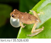 Short-headed treefrog (Dendropsophus brevifrons) calling with inflated vocal sac. Above a rainforest pond at night, Yasuni National Park, Ecuador. Стоковое фото, фотограф Morley Read / Nature Picture Library / Фотобанк Лори