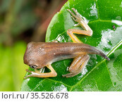 Recently metamorphosed juvenile Amazon leaf frog (Agalychnis hulli) in the vegetation above a pond in Yasuni National Park, Ecuador. Стоковое фото, фотограф Morley Read / Nature Picture Library / Фотобанк Лори