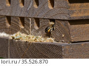 Wood-carving leafcutter bee (Megachile ligniseca) female entering nest hole in insect hotel, it has enlarged the hole by scraping out wood fibres. Wiltshire, England, UK. June. Стоковое фото, фотограф Nick Upton / Nature Picture Library / Фотобанк Лори