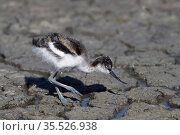 Pied avocet (Recurvirostra avosetta) chick foraging in water, Vendéen marsh,France, May. Стоковое фото, фотограф Loic Poidevin / Nature Picture Library / Фотобанк Лори