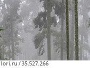 Oyamel tree full of Monarch butterflies (Danaus plexippus) in fog, Sierra Chincua Sanctuary, Mexico. Стоковое фото, фотограф Patricio Robles Gil / Nature Picture Library / Фотобанк Лори
