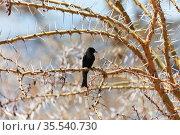 Common square-tailed drongo. Стоковое фото, фотограф Art Konovalov / Фотобанк Лори