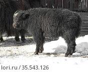 Domestic yak (Bos grunniens). Calf. Стоковое фото, фотограф Валерия Попова / Фотобанк Лори