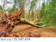 Fallen Tree,Horner Woods,Devon,England. Стоковое фото, фотограф Zoonar.com/dvlcom DVLCOM.MAIL@GMAIL.COM / easy Fotostock / Фотобанк Лори