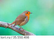 Rotkehlchen (Erithacus rubecula) sitzt auf einem Ast. European robin... Стоковое фото, фотограф Zoonar.com/Dirk Rüter / easy Fotostock / Фотобанк Лори