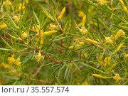 Prickly geebung (Persoonia juniperina). Tasmania, Australia. January. Стоковое фото, фотограф Dave Watts / Nature Picture Library / Фотобанк Лори
