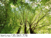Summer Green Canopy Of Tall Trees. Deciduous Forest, Summer Nature... Стоковое фото, фотограф Ryhor Bruyeu / easy Fotostock / Фотобанк Лори