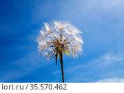 Dandelion flower close up silhouette over a blue sky. Стоковое фото, фотограф Zoonar.com/Laurent Davoust / easy Fotostock / Фотобанк Лори