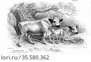 British Wild or Park cattle. Ancient breed surviving in a few small... Редакционное фото, агентство World History Archive / Фотобанк Лори