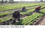 Hired workers harvest arugula on a farm plantation. Стоковое видео, видеограф Яков Филимонов / Фотобанк Лори