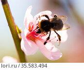 bumblebee collects honey on peach blossom. Стоковое фото, фотограф Татьяна Яцевич / Фотобанк Лори