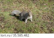 Western gray squirrel (Sciurus griseus), arboreal rodent. Стоковое фото, фотограф Валерия Попова / Фотобанк Лори