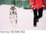 Young Husky Dog Play And Fast Running Outdoor Near Woman In Snow,... Стоковое фото, фотограф Ryhor Bruyeu / easy Fotostock / Фотобанк Лори