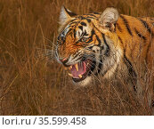 Bengal tiger (Panthera tigris) female, Ranthambhore, India. Стоковое фото, фотограф Andy Rouse / Nature Picture Library / Фотобанк Лори