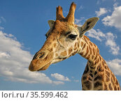 Rothschild's giraffe (Giraffa camelopardalis rothschildi) captive animal, UK. Стоковое фото, фотограф Andy Rouse / Nature Picture Library / Фотобанк Лори