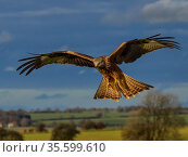 RF - Red kite (Milvus milvus) in flight, UK. November. (This image may be licensed either as rights managed or royalty free.) Стоковое фото, фотограф Andy Rouse / Nature Picture Library / Фотобанк Лори