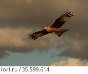 Red kite (Milvus milvus) in flight, viewed from below, UK. November. Стоковое фото, фотограф Andy Rouse / Nature Picture Library / Фотобанк Лори