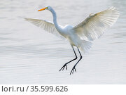 Great egret (Ardea alba) coming in to land in the shallow ponds, Riparian Preserve, Gilbert, Arizona, USA. November. Стоковое фото, фотограф Jack Dykinga / Nature Picture Library / Фотобанк Лори