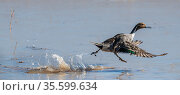Northern pintail duck (Anas acuta) running on the water's surface for take off, Bosque del Apache National Wildlife Refuge, New Mexico, USA. December. Стоковое фото, фотограф Jack Dykinga / Nature Picture Library / Фотобанк Лори