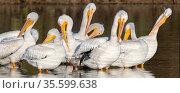 American white pelicans (Pelecanus erythrorhynchos) group preening, wintering in the Riparian Preserve, Gilbert, Arizona, USA. November. Стоковое фото, фотограф Jack Dykinga / Nature Picture Library / Фотобанк Лори