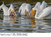 American white pelicans (Pelecanus erythrorhynchos) actively fishing. Riparian Preserve, Gilbert, Arizona, USA. November. Стоковое фото, фотограф Jack Dykinga / Nature Picture Library / Фотобанк Лори