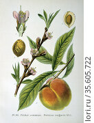 Common Peach (Persica vulgaris).  From A Masclef 'Atlas des Plantes... Редакционное фото, агентство World History Archive / Фотобанк Лори
