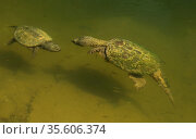 Snapping turtles (Chelydra serpentina) male attempting to mate with female, Maryland, September. Стоковое фото, фотограф John Cancalosi / Nature Picture Library / Фотобанк Лори